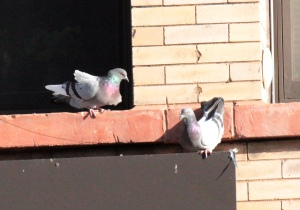 Rock Doves (pigeons)