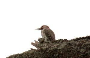ARPost5-Red-bellied Woodpecker