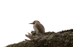 ARPost5-Red-bellied Woodpecker