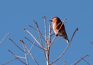 Bird3-Red Crossbill