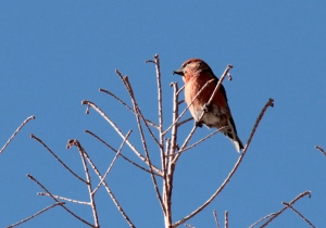 Bird3-Red Crossbill