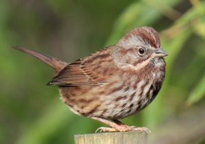 Birds0-song sparrow