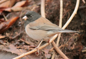 "Birds2-dark eyed ""oregon"" junco"