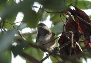 Birds3-Black-capped chickadee