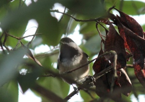 Birds3-Black-capped chickadee