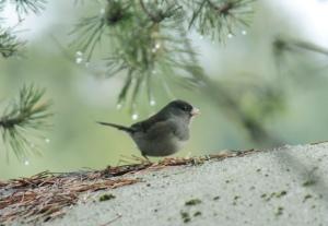 """Birds4-dark-eyed """"slate-covered"""" junco"""