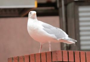 Birds5-herring gull, adult