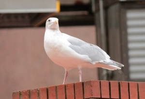 Birds5-herring gull, adult
