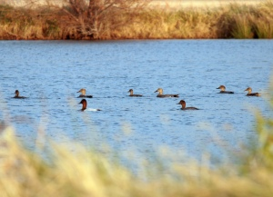 Canvasbacks and a Redhead Duck on my grandparents' pond.
