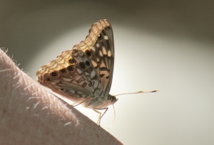 Holla Bend8 Hackberry Emperor
