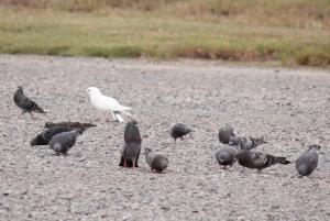 Rock Dove (domestic Pigeon)2