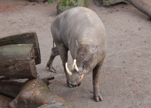 A Babirusa, although I personally think it looks like a mini-elephant.