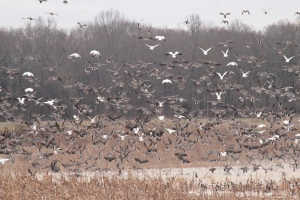 1-5 (5) Mallards, Ross, Snow and Speckled Bellies Geese1