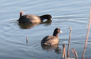 1-13 American Coot1