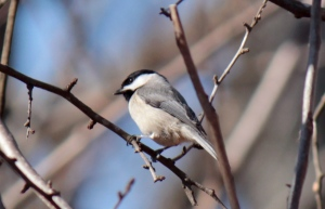 1-13 Carolina Chickadee
