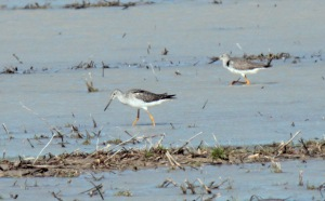 2-306-Greater Yellowlegs1