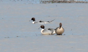 3-306-Northern Pintail2