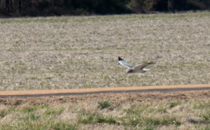 5-306-Northern Harrier1