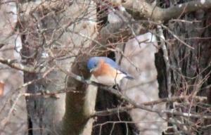 6-2-15 Eastern Bluebird
