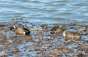DUCKS1-Blue-winged Teal1