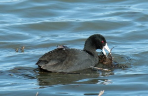 DUCKS6-American Coot