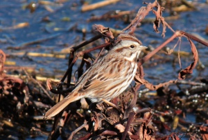 DUCKS7-Song Sparrow