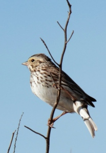 DUCKS8-Song Sparrow1