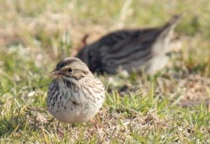 A sparrow.