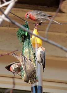 1-House Finches, Brown-headed Nuthatch