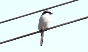 1-Loggerhead Shrike1