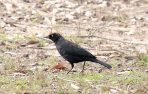 10-Rusty blackbird1