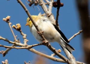 2-American Goldfinch1