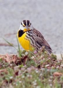 4-Eastern Meadowlark