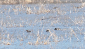 4-Green-Winged Teal Duck1