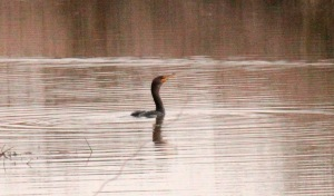 Double-crested Cormorant1