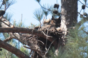 Great Horned Owl1