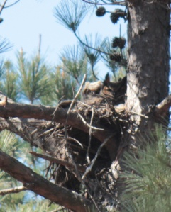 Great Horned Owl3