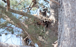 Great Horned Owl4