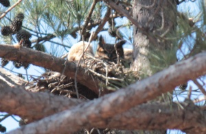Great Horned Owl5