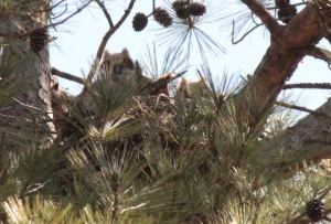 Great horned Owl6
