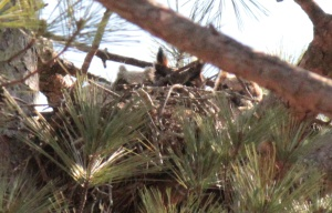 Great Horned Owl7