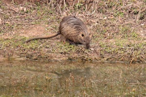 I also saw plenty of nutria. It's definitely mating season for these guys.