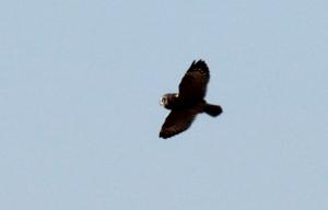 Short-eared Owl1-0