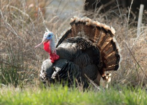 Wild Turkey1 (adult male southwestern)