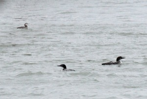 10-Common Loon, pacific loon