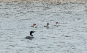 11-Common Loon, Red-breasted Mergansers