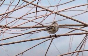 18-Yellow-rumped Warbler