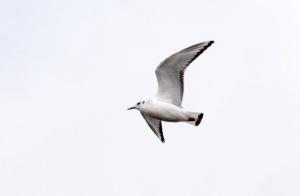 3-Bonaparte's Gull