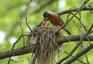 4-18 standalone-baby robin1