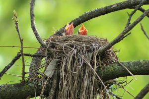 4-18 standalone-baby robin2
